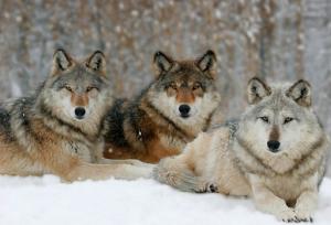 grey-wolves