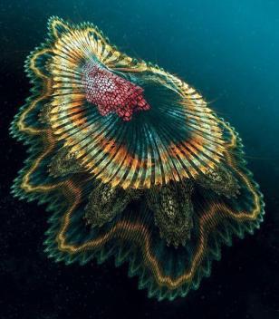 Spanish-dancer-jellyfish-links