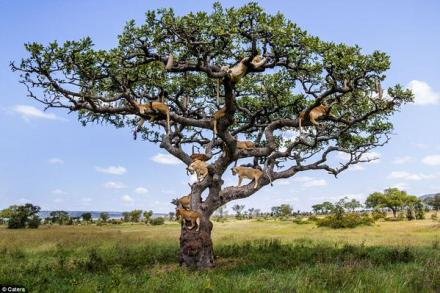 lion tree tanzania