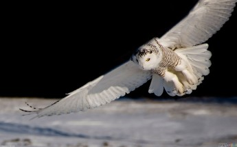 white_owl_flying_1919x1200